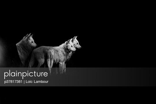 Weiße Wölfe - p37817381 von Loic Lambour