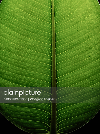 Leaf of a rubber plant - p1383m2181955 by Wolfgang Steiner