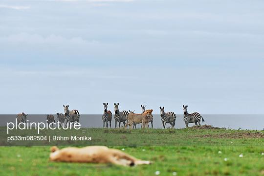 Zebras beobachten Löwen - p533m982504 von Böhm Monika