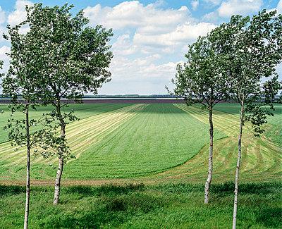 Birch trees - p1132m1016992 by Mischa Keijser