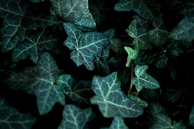 Ivy, leaves, close-up - p1640m2242043 by Holly & John