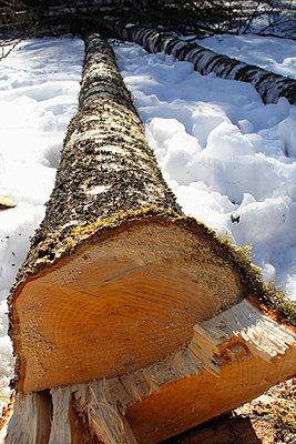 Fallen birch tree - p3226978 by Kati Kalkamo