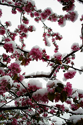 Snow covered cherry blossom - p3882181 by Andre