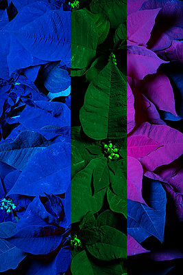 Colourful Poinsettias  - p919m2230933 by Beowulf Sheehan
