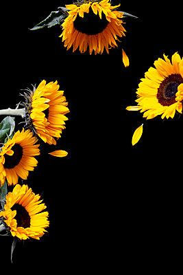 Sonnenblumen auf schwarzem Hintergrund mit fehlenden Blütenblättern - p1248m2297493 von miguel sobreira