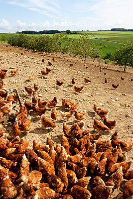 Chicken farm - p248m932967 by BY