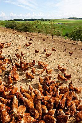 Hühnerfarm - p248m932967 von BY