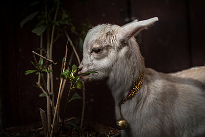 Baby goat with a golden bell eating leaves  - p1007m2092418 by Tilby Vattard