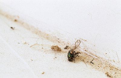 Tote Fliege - p3050025 von Dirk Morla