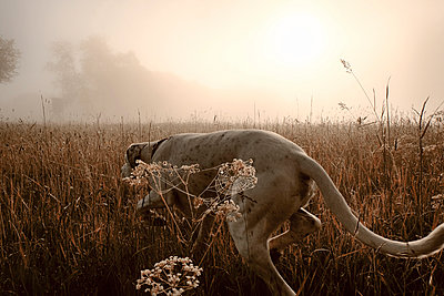 Germany, Hound dog hunting in morning light - p300m1019422f by noonland