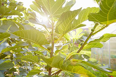 Backlit close up of fig tree in garden - p429m1047180 by Stephen Lux