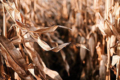 Dried corn stalks in a field at the end of a summer - p1166m2094879 by Cavan Images