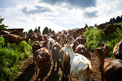 Goats - p1203m1025881 by Bernd Schumacher