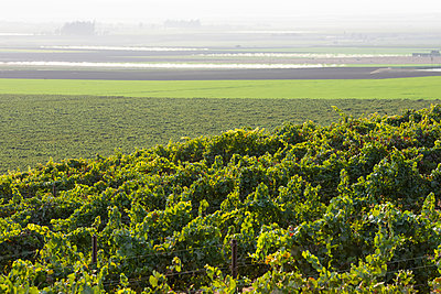 Grapevines (Vitis) on a hillside with fog over the farm fields in the distance; Gonzales, California, United States of America - p442m2091922 by Robert J. Polett