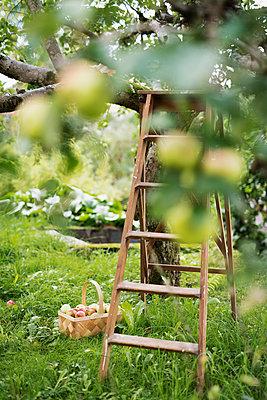 Ladder close to apple tree - p312m1470585 by Karl Forsberg