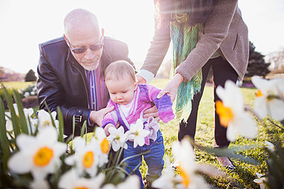 Grandparents with granddaughter amongst daffodils - p924m821569f by Chad Springer