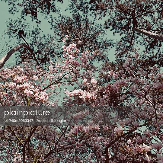 Magnolia blossom - p1240m2063347 by Adeline Spengler