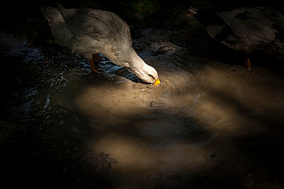 Goose drinking in a water puddle - p1007m1134874 by Tilby Vattard