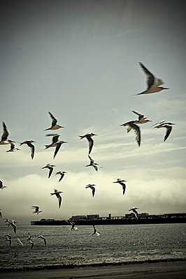 Flock of terns in flight by the sea - p1047m789467 by Sally Mundy
