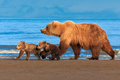 Brown bear sow and cubs - p1100m887870f by Art Wolfe