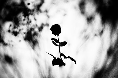 Single rose against the light - p1616m2187761 by Just - Schmidt