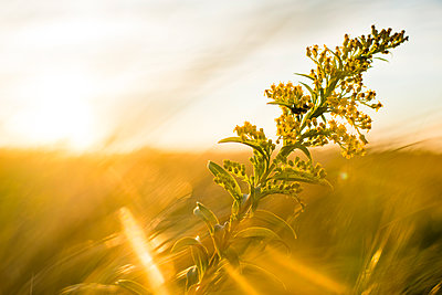 Wild plant at sunset - p343m1446592 by Cate Brown