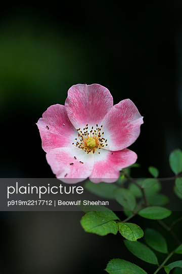 Hibiscus flower with ants - p919m2217712 by Beowulf Sheehan