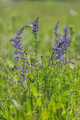 Blossoming Meadow Sage - p300m2102500 von Anke Scheibe