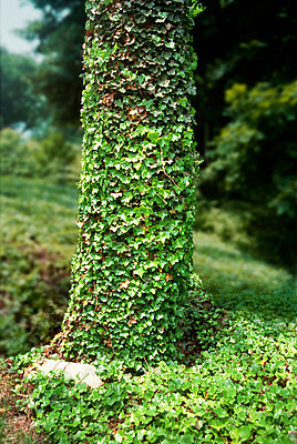 Tree trunk covered in ivy leaves - p924m744570f by Bombzilla