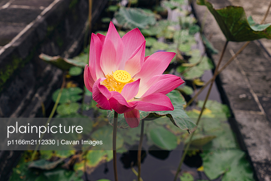 High angle view of pink lotus water lily growing in pond - p1166m2112330 by Cavan Images