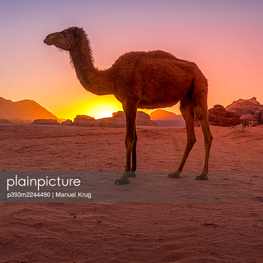 Jordan, Camel in the desert at sunset - p393m2244490 by Manuel Krug
