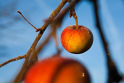 Apfel mit Raureif - p1057m856407 von Stephen Shepherd