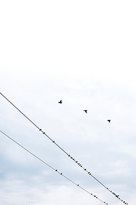 Starlings - p954m1059563 by Heidi Mayer