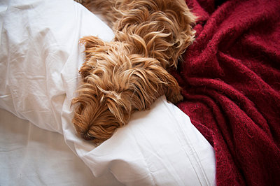 Cockapoo Puppy on clean white sheets - p1181m971349 by Kelly Hill