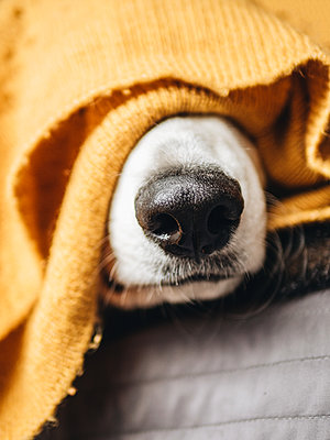 Dog's snout between sweater - p1522m2260646 by Almag