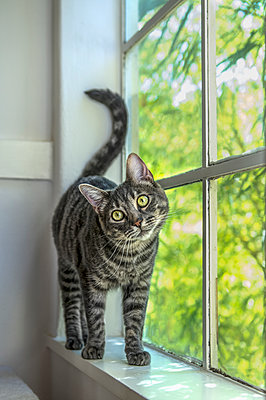 Portrait of cat standing at window - p555m1472859 by Barbara Brady-Smith
