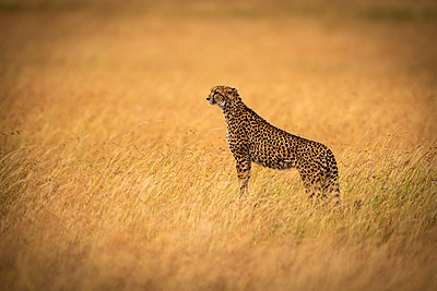 Cheetah (Acinonyx jubatus) stands on mound in long grass, Maasai Mara National Reserve; Kenya - p442m2039527 by Nick Dale