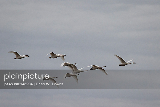 Tundra Swans flying overhead - p1480m2148204 by Brian W. Downs
