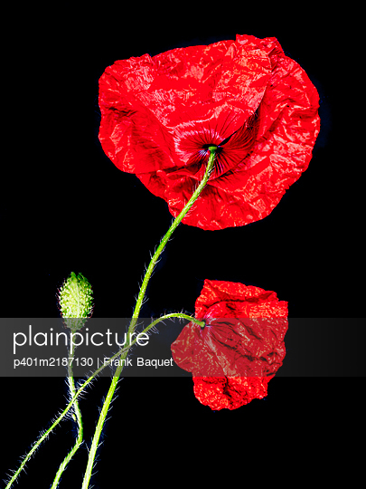 Poppy blossoms - p401m2187130 by Frank Baquet