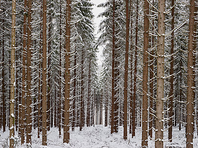 Coniferous trees in forest in winter - p312m1471576 by Jan Tove