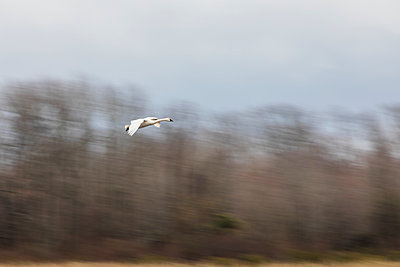 Blurred background behind a Tundra Swan landing - p1480m2229489 by Brian W. Downs