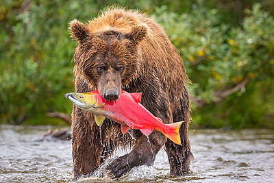 Alaska Peninsula brown bear (Ursus arctos horribilis) with freshly caught salmon, Katmai National Park and Preserve, Alaska, USA - p343m1578097 by Grant Ordelheide