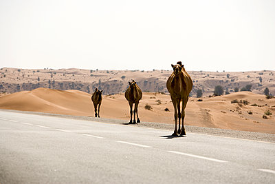 Camels crossing a desert road - p280m1137319 by victor s. brigola