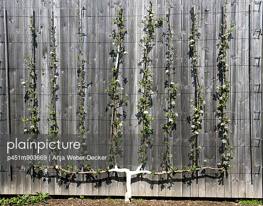 Espalier tree - p451m903669 by Anja Weber-Decker