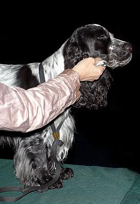 Dog Show - Cocker Spaniel - p250m808703 by Christian Diehl