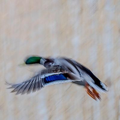Duck in flight - p312m1471337 by Benny Karlsson