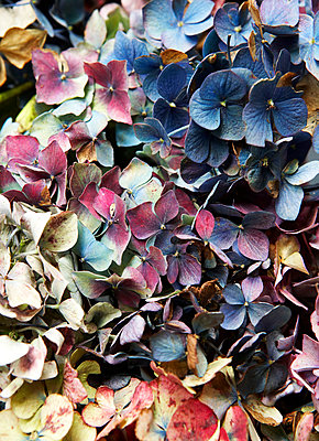 Variety of colourful dried flower petals;  Isle of Wight;  UK - p349m920055 by Rachel Whiting
