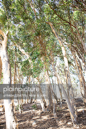 Eucalyptus trees in the sunshine - p1640m2254719 by Holly & John