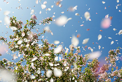 Petals from an ornamnetal blossom tree falling and floating in the wind set aginst a deep blue sky. - p1057m1573857 by Stephen Shepherd