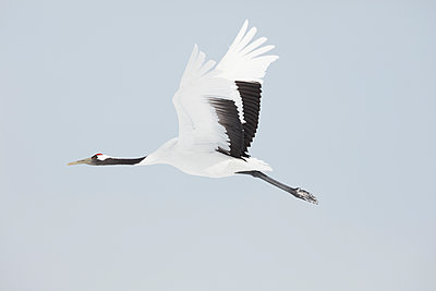 Red-Crowned Cranes, Grus japonensis, mid-air in winter. - p1100m1520109 by Mint Images